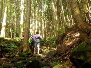 杉の林を歩く